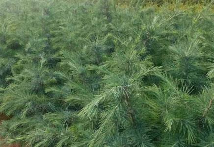 雪松小苗移栽需要保湿的原因